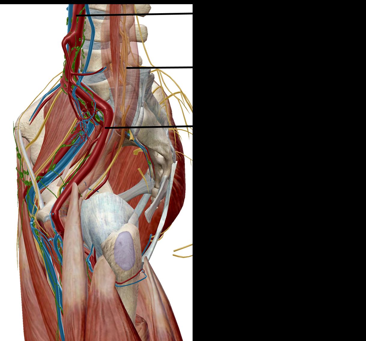 Outstanding External Iliac Image - Human Anatomy Images ...
